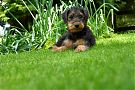 Airedale-Poppy